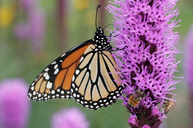 Butterfly & Liatris web